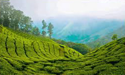 Darjeeling teplantage dalgång