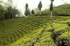 Darjeeling teplantage