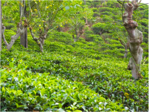 teplantage i Sri Lanka