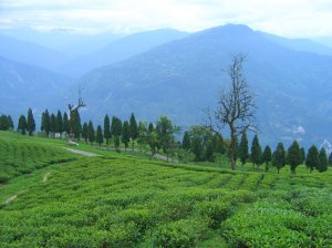 Sikkim Temi Tea