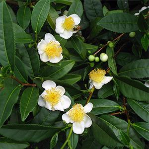 Camellia Sinensis teblad med blommor